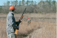 quail hunting picture